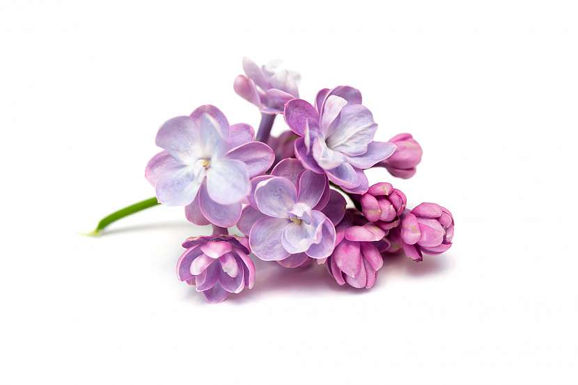Květy šeříku