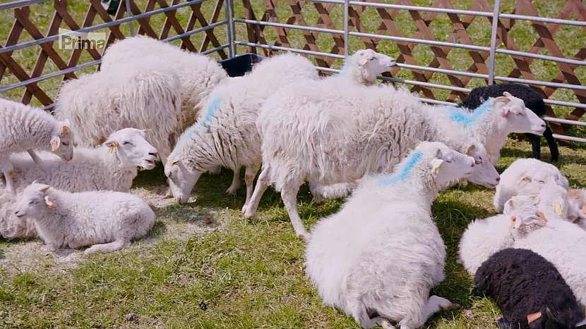Chov ovcí skudde