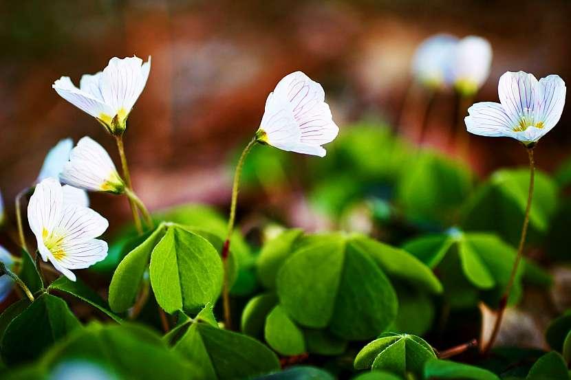 Kvetoucí čtyřlístek