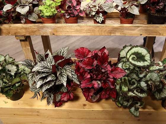 Přehlídka pestrých listů begonií