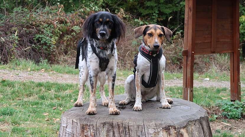 Český strakatý pes může mít hladkou i delší srst