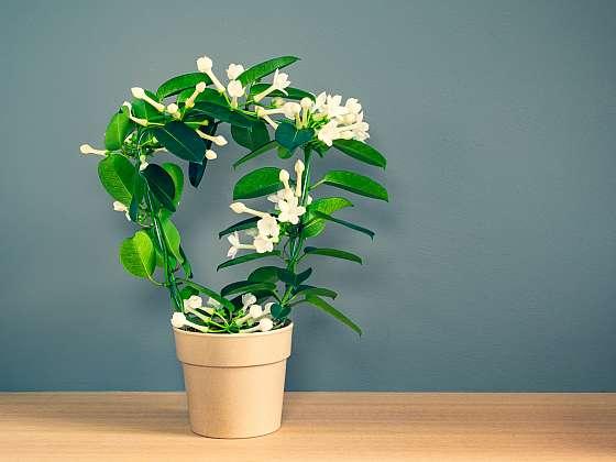 Jasmín můžete skutečně pěstovat i jako pokojovou rostlinu, stačí jen, abyste si vybrali tu správnou odrůdu (Zdroj: Depositphotos (https://cz.depositphotos.com))