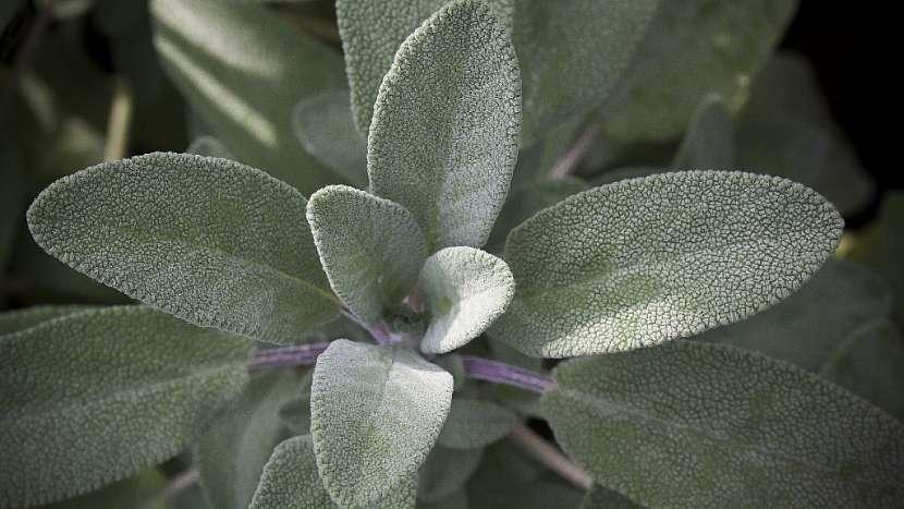 Domácí jablečné sirupy s bylinkami a kořením: šalvěj lékařská (Salvia officinalis)
