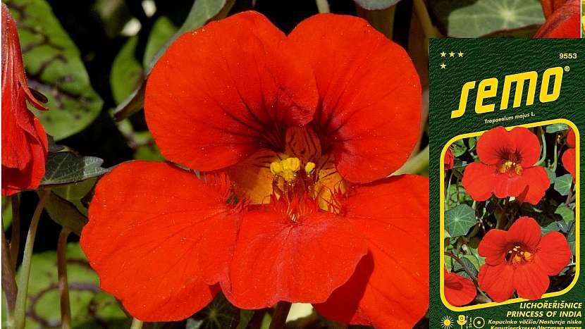 Lichořeřišnice větší (Trapeoleum majus L.): nízká odrůda Princess of India