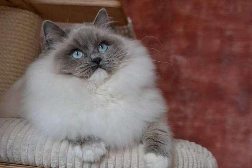 Kočka plemene Ragdoll, jeden z nejpřítulnějších a nejspolečenštějších domácích mazlíků 4