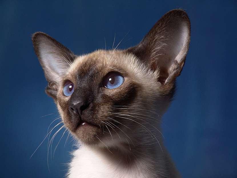 Kotě siamské kočky