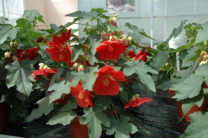 3 krasnou nadobovou rostlinou na slunnou terasu je mracnak-2