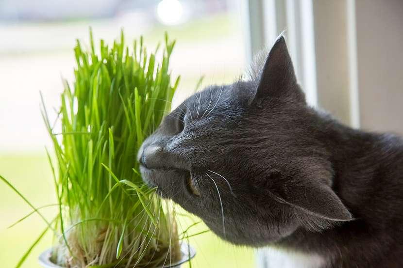 Kočičí tráva kočkám pomáhá trávit a je skvělým zdrojem vlákniny i vitaminů