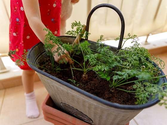 Na balkonu pěstujte a sklízejte i mrkev (Zdroj: Depositphotos (https://cz.depositphotos.com))