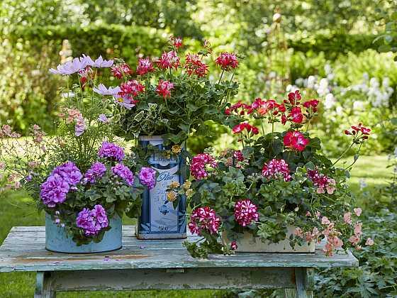 Muškáty budou v roce 2021 hvězdami truhlíků i zahrad (Zdroj: Pelargonium for Europe)