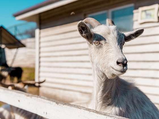 Chov domácích zvířat se opět vrací na vesnice i do měst (Zdroj: Depositphotos)