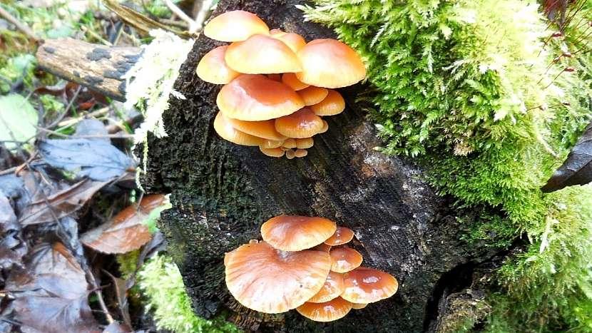 Mírná zima jedlým houbám svědčí: penízovka sametonohá (Flammulina velutipes)
