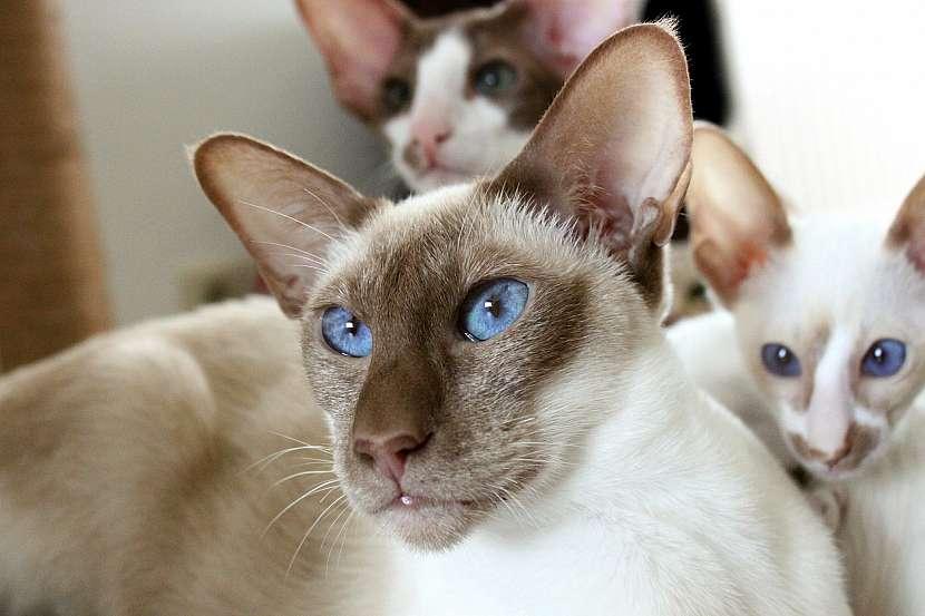 Siamská kočka s koťaty