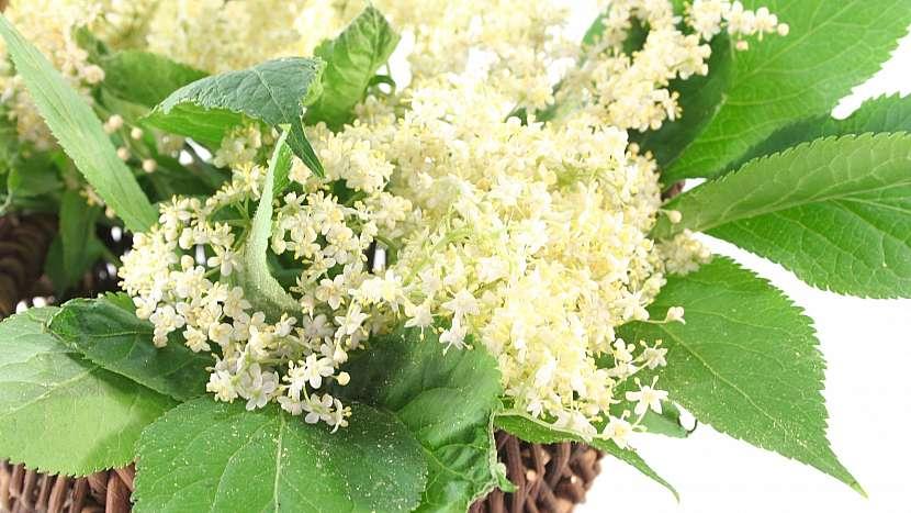 Květy černého bezu (Sambucus niger) podporují hubnutí