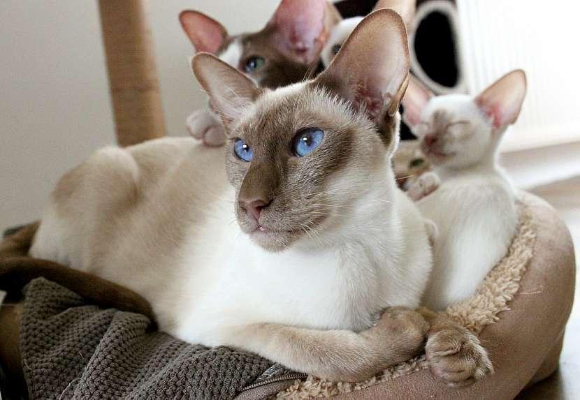Rodinka siamských koček