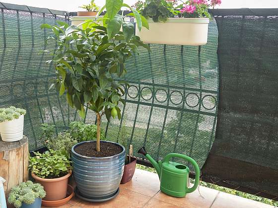 Citrusy a další pokojovky milují letnění na balkoně nebo terase (Zdroj: Depositphotos)