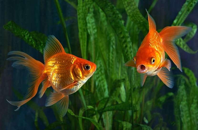 Rybky v akváriu