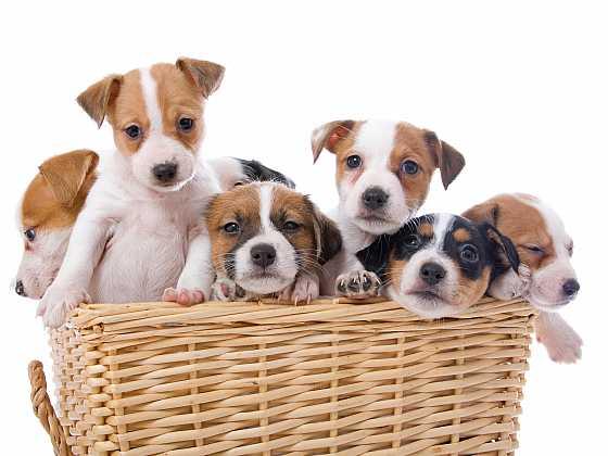 Jak si vybrat štěně a nenaletět množírně (Zdroj: Depositphotos)