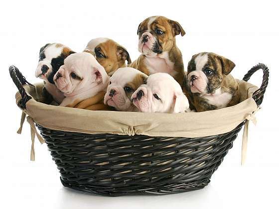 Pořizujeme štěně – základní péče, na kterou se připravit (Zdroj: Depositphotos)