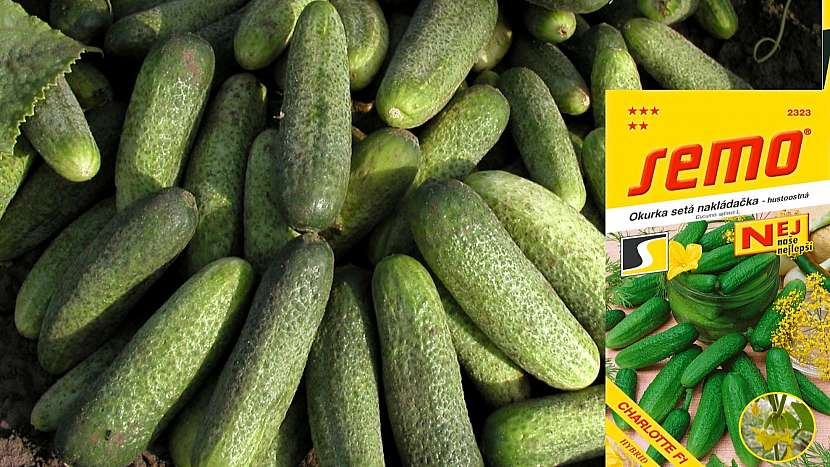 Okurka setá: odrůda CHARLOTTE F1