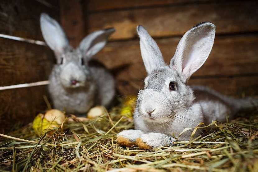 Králíci v králíkárně