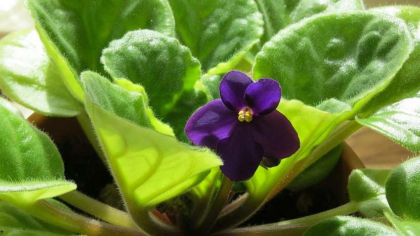 6 nečekaných důvodů, proč mít doma kytky: africká fialka (Saintpaulia)