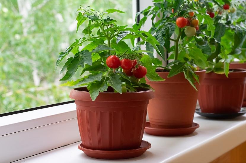 Keříčková rajčata v květináčích