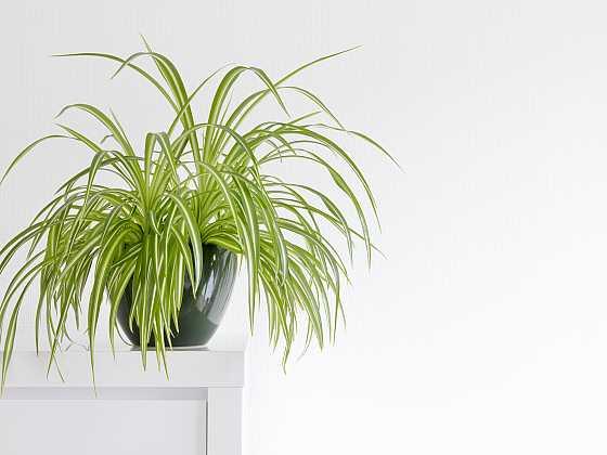 Přírodní čistička vzduchu – zelenec chocholatý (Zdroj: Depositphotos)