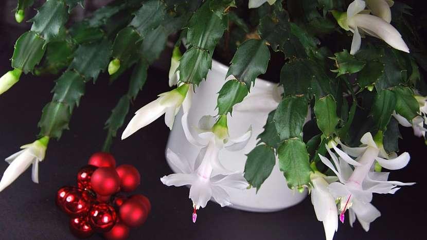 Vánoční kaktus (Schlumbergera truncata, starší název Zygocactus truncatus)