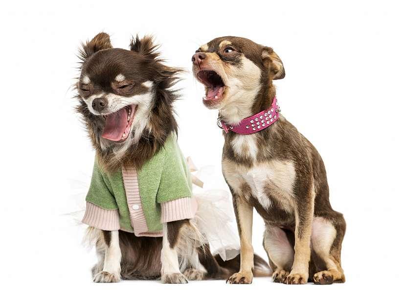 Dva psi v oblečkách