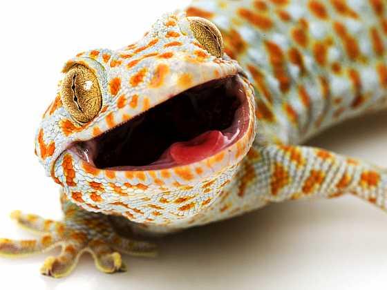 Pokud hledáte zajímavého parťáka do rodiny, je gekon to pravé ořechové (Zdroj: Depositphotos)