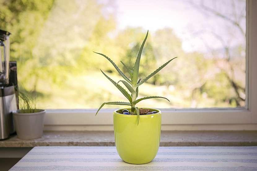 Aloe se v našich podmínkách daří