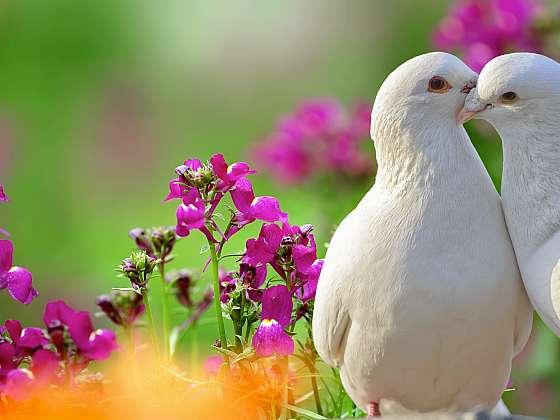 Chov holubů je znám lidem odpradávna (Zdroj: Depositphotos)