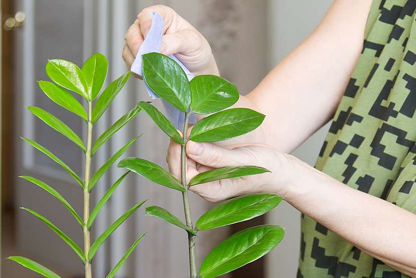 Otírání listů rostlin