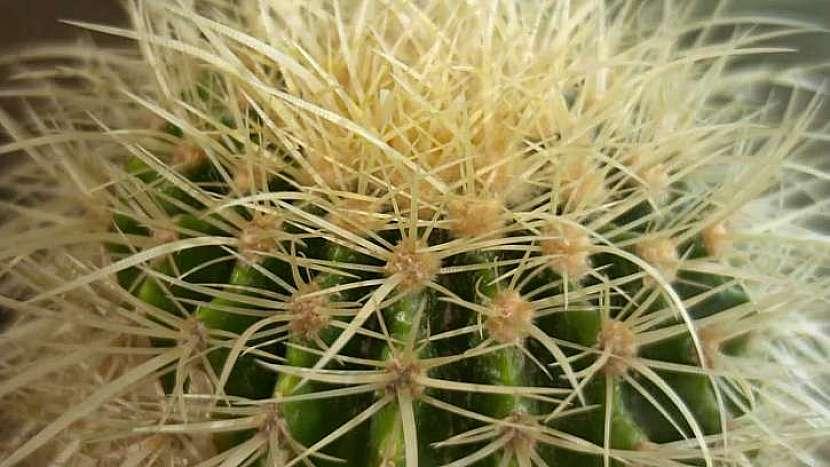 Kaktusy jsou dekorativní i prospěšné