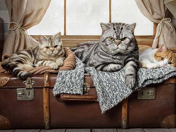 Kočkám cestování žádnou radost nepřináší (Zdroj: Depositphotos )