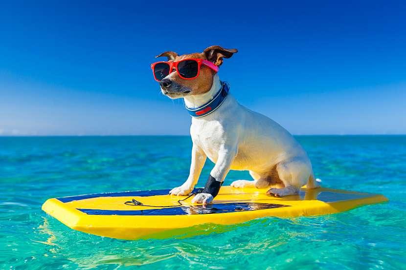 Pes surfař