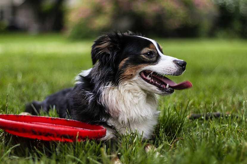 Pes frisbee