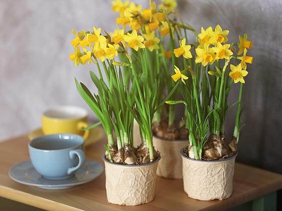 Poslové jara v květináči: jak na výběr, péči a co s nimi po odkvětu (Zdroj: Depositphotos)