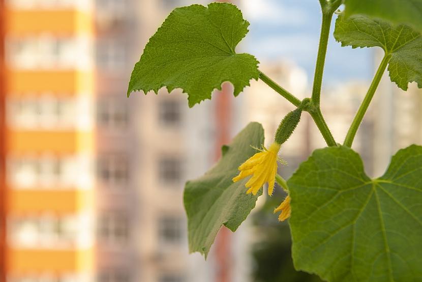 Kvetoucí okurka