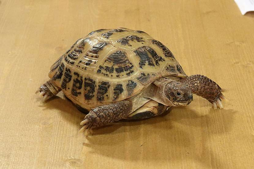 Zdánlivě nenáročná želva