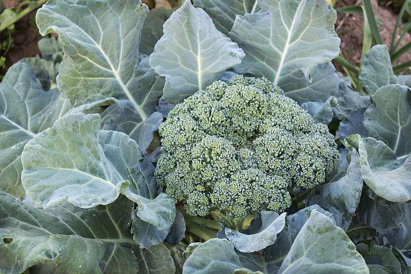 Brokolice připravená ke sklizni