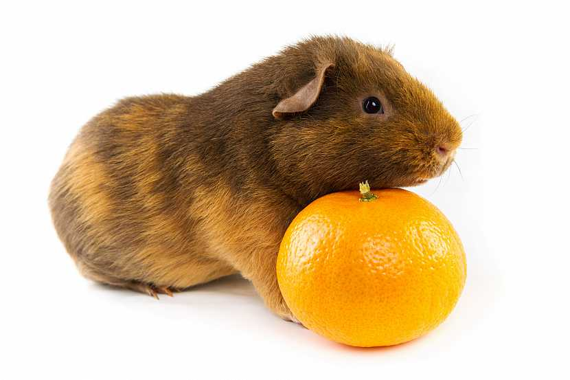 Morče s mandarinkou