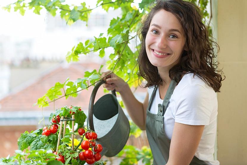 Zalévání rajčat v truhlíku