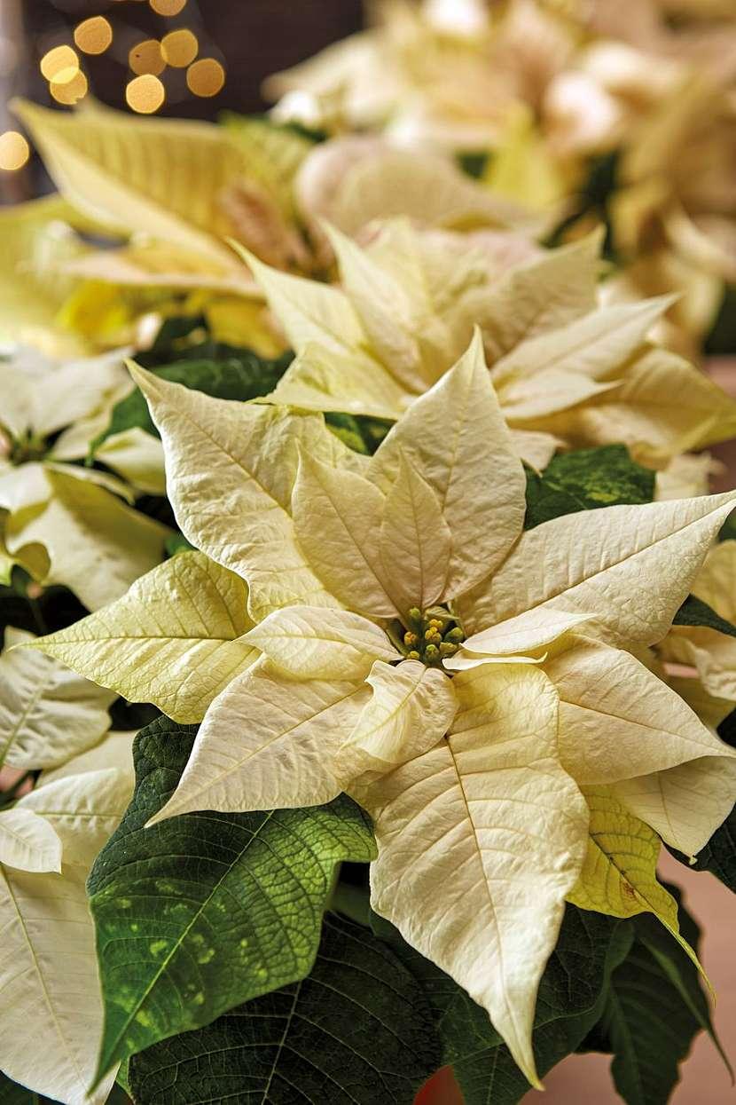 csm_2020_poinsettia_01000_Christmas_Green_Spirit_30_29f76744a0