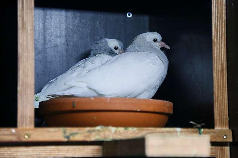 Chovný pár na hnízdní misce