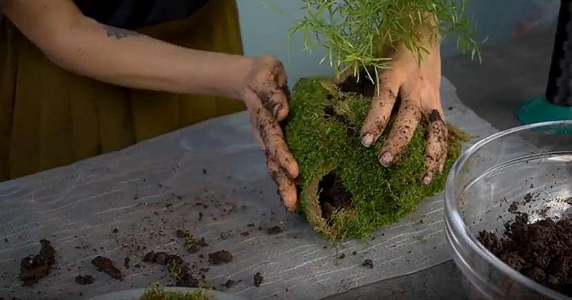 Kokedama z asparágusu: obalte mechem