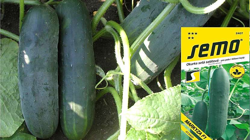 Okurka setá: odrůda MARKÝZA F1