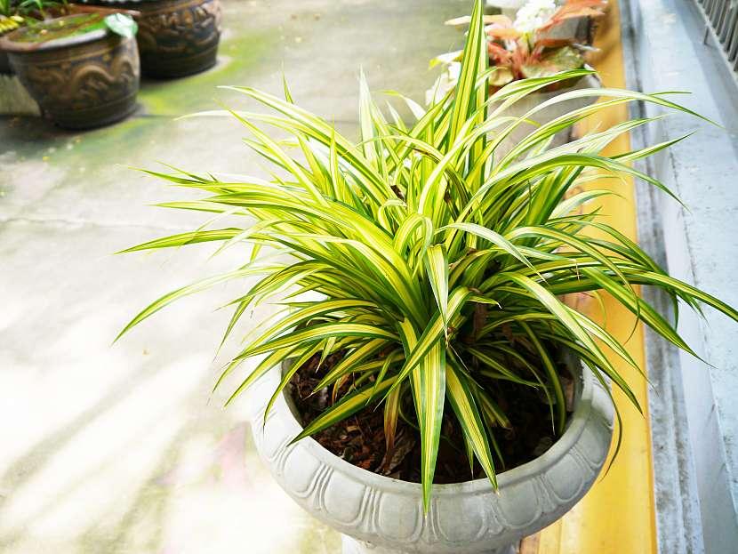 Zelenec patří k těm největším přírodním čističkám vzduchu, proto by neměl chybět v žádné domácnosti. Dokáže vyčistit až 95 % formaldehydu ze vzduchu