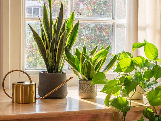 Seznamte se s pokojovkymi, které vám vyčistí vzduch (Zdroj: Depositphotos (https://cz.depositphotos.com))